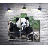 Панда на обеде