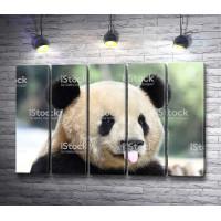 Панда высунула язык