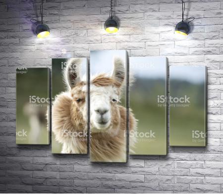 Пушистая лама