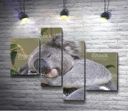 Спящая коала