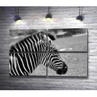 Профиль зебры в черно-белой гамме