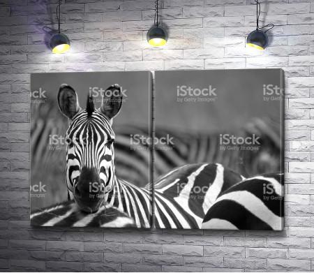 Черно-белое фото зебр