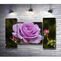 Сиреневая роза в росе