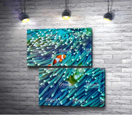 Рыба-клоун среди кораллов