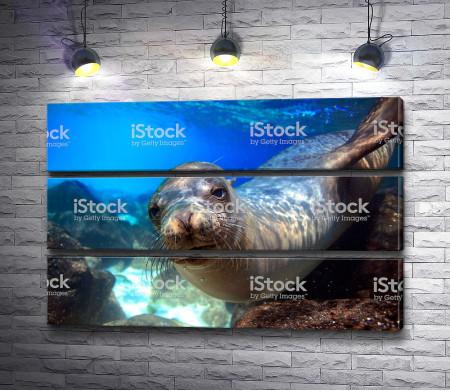 Морской котик с усами