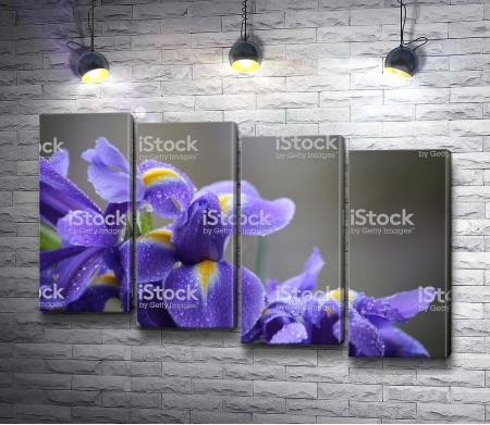 Сиреневые цветы ириса