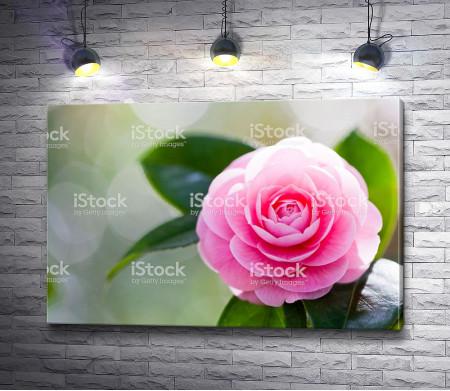 Розовая камелия на ветке