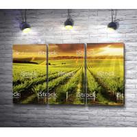 Виноградники в бескрайнем поле