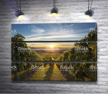 Виноградник во время вечернего заката