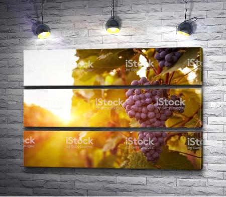 Гроздь винограда в солнечных лучах