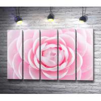 Бутон садовой розы