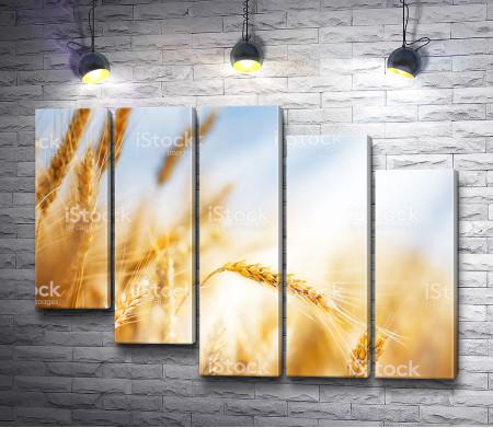 Колосья пшеницы, макросъемка