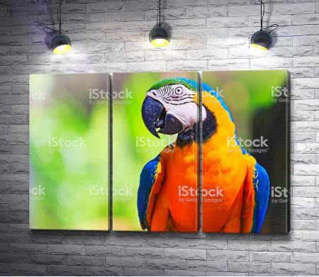 Попугай ара с оранжевой шеей