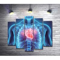 Анатомическое строение человека: Сердце