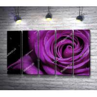 Пурпурная роза, макросъемка