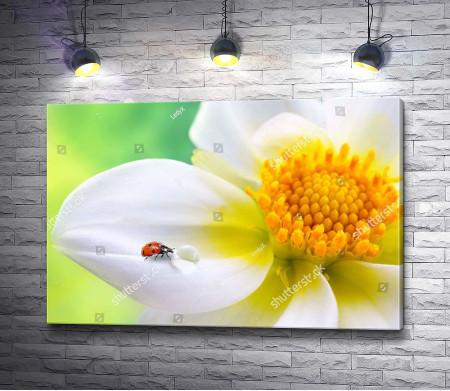 Божья коровка на белом цветке, макросъемка