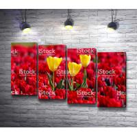 Желтые тюльпаны среди красного поля тюльпанов