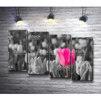 Розовый тюльпан среди черно-белых