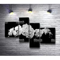Черно-белые цветы орхидеи