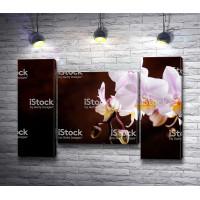 Белоснежные бутоны орхидеи