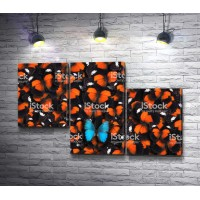 Голубая бабочка среди оранжевых