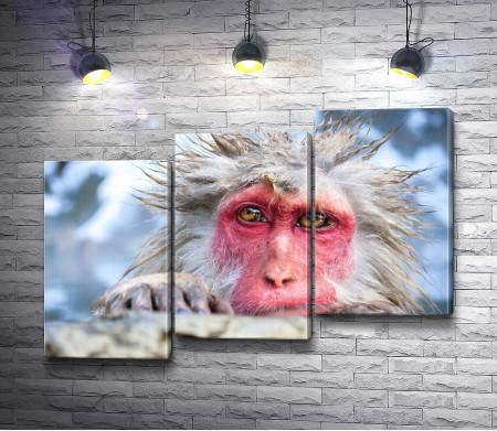 Снежная обезьяна