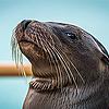 Тюлени, морские котики