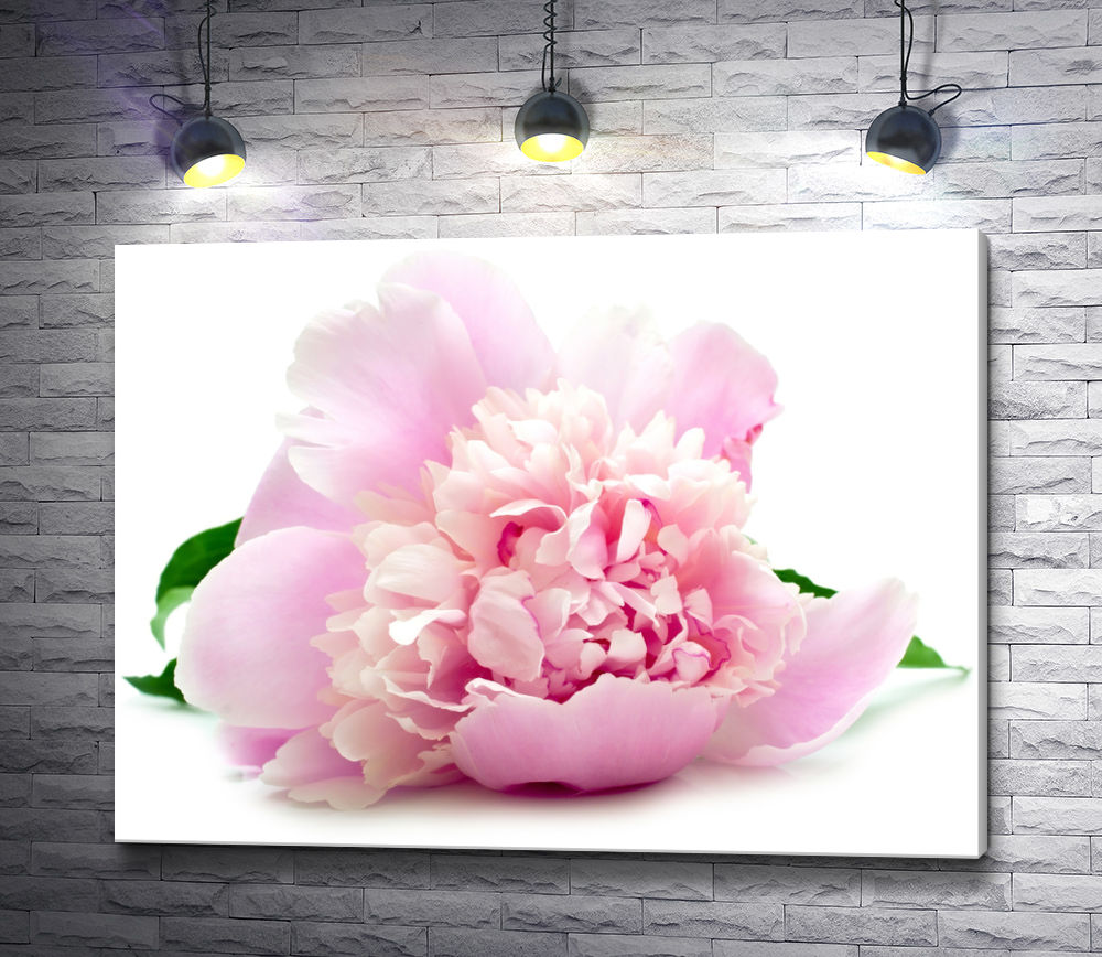 """Картина """"Нежно-розовый пион на белом фоне"""""""