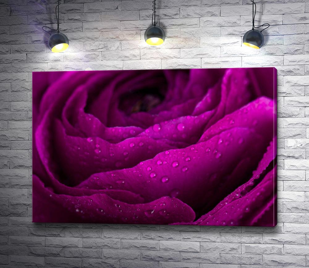 "Картина ""Пурпурная роза с каплями воды. Макросъемка"""